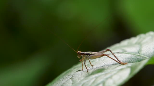 cricket jumps from green leaf, high speed - cricket insect stock videos and b-roll footage