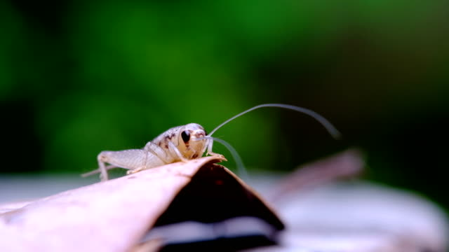 cricket on leaf, insect - cricket insect stock videos and b-roll footage
