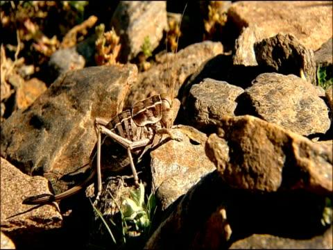 Cricket, Parque Nacional Sierra Nevada (Granada y Almeria), Andalusia, Southern Spain