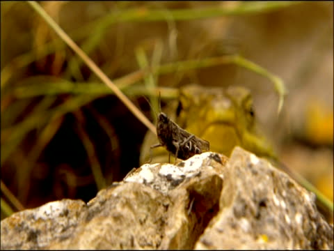 cricket, pull focus to ocellated lizard (lacerta lepida) watching, andalusia, southern spain - grillo insetto video stock e b–roll