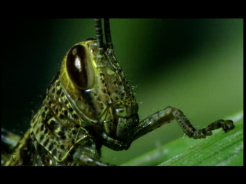 a cricket rests on a leaf. - grillo insetto video stock e b–roll