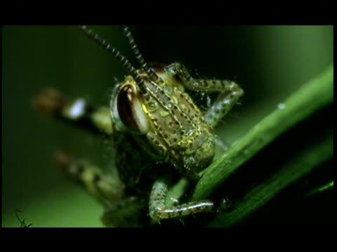 vídeos de stock e filmes b-roll de a cricket rests on a leaf. - parte do corpo animal