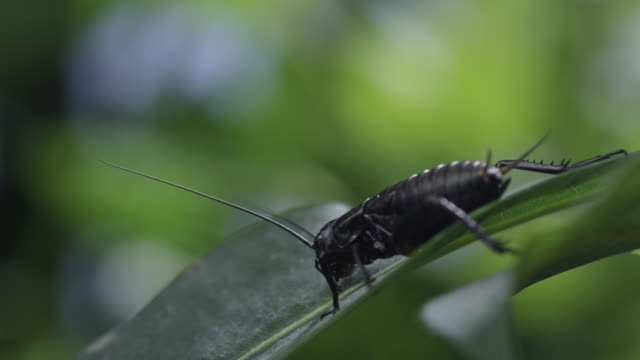 cricket (gryllidae) slips off leaf in forest - cricket stock videos & royalty-free footage
