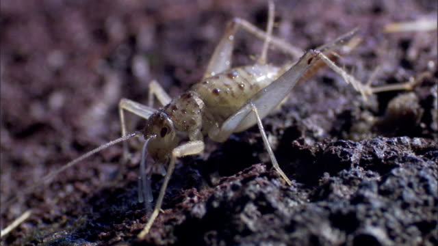 a cricket's antenna bends to its mouth so it can eat something. - grillo insetto video stock e b–roll