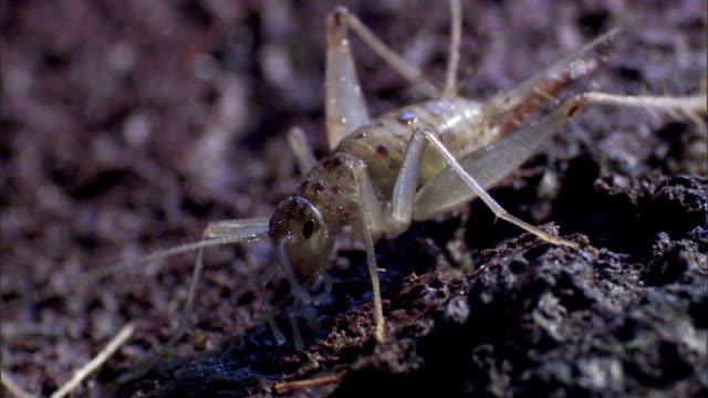 stockvideo's en b-roll-footage met a cricket's antennae move as the rest of its body remains motionless. - voelspriet