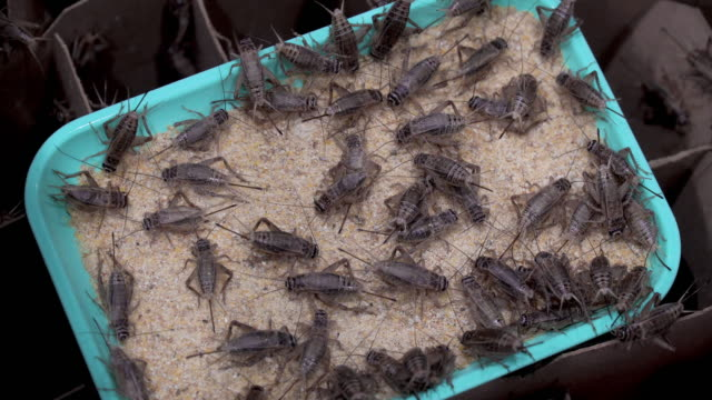 crickets on farm is eating food. - cereal plant stock videos & royalty-free footage
