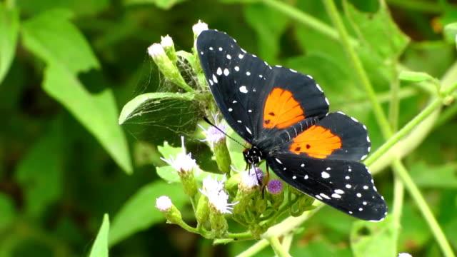 vidéos et rushes de patch crimson papillon - des papillons dans le ventre