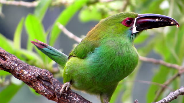 crimson rumped toucanet - ecuador stock-videos und b-roll-filmmaterial