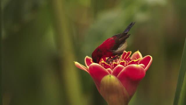 crimson sunbird drinking nectar on red flower / papua, indonesia - wildflower stock videos & royalty-free footage