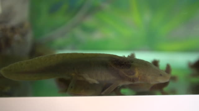 critically endangered axolotl at a sanctuary in mexico - salamander stock videos and b-roll footage