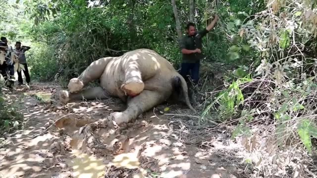 A critically endangered elephant is found dead in a palm oil plantation on Indonesia's Sumatra island in what is suspected to be a deliberate...