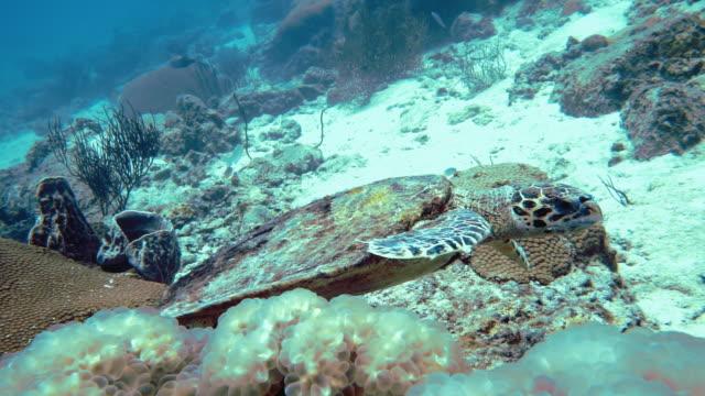 akut hotad hawksbill havs sköld padda (eretmochelys imbricata) på korall rev - andamansjön bildbanksvideor och videomaterial från bakom kulisserna
