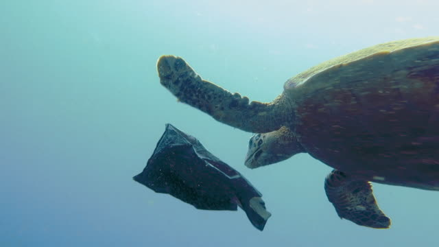 vídeos de stock e filmes b-roll de critically endangered hawksbill sea turtle rescued from eating plastic garbage in ocean - submarino subaquático
