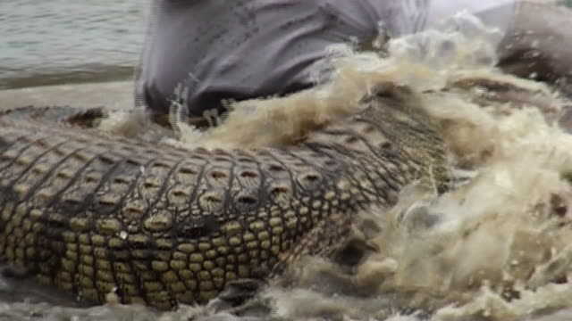 a crocodile attacks a dummy. - echte krokodile stock-videos und b-roll-filmmaterial