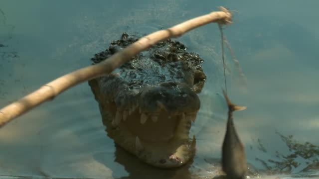 stockvideo's en b-roll-footage met crocodile bothered by fish on string - neus van een dier