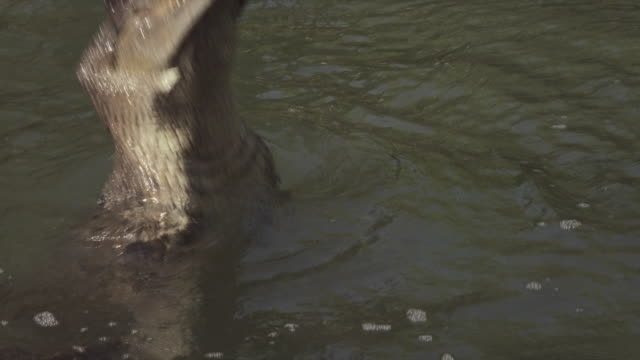 crocodile breaches water - reptile stock videos & royalty-free footage