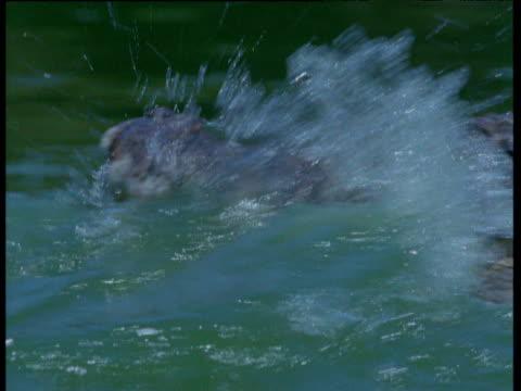 Crocodile catches Flying Fox in water, Australia