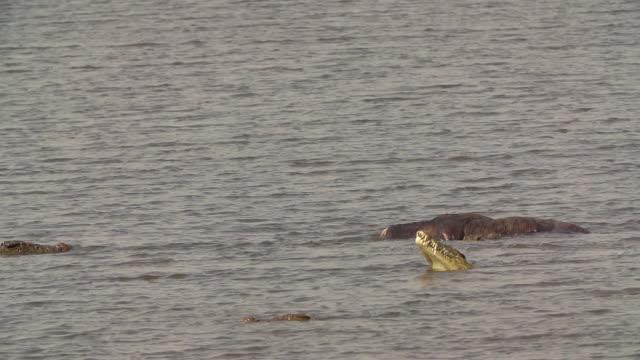 MS SLO MO Crocodile chewing meat from buffalo carcass / Chobe River, Chobe, Botswana