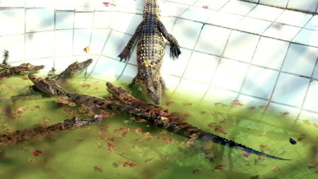 vidéos et rushes de enfants de crocodile sont ramper vers le bas de l'étang à la ferme aux crocodiles. - animals in the wild