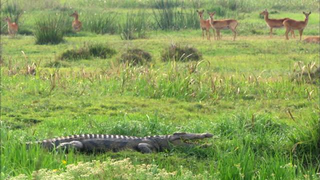 crocodile diving into the water, bangweulu marsh, zambia, africa - クロコダイル点の映像素材/bロール
