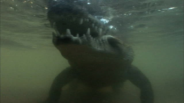 a crocodile eating a fish in lake tanganyika, zambia - animal mouth stock videos & royalty-free footage