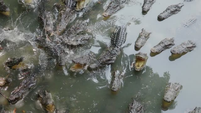 crocodile eating - alligator stock videos & royalty-free footage