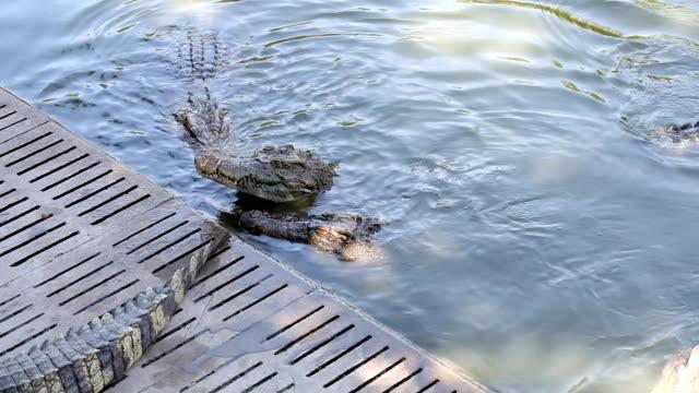 crocodile eating - full hd format bildbanksvideor och videomaterial från bakom kulisserna
