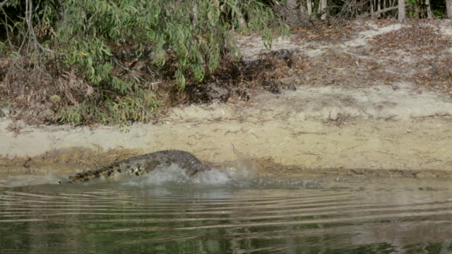 crocodile eats on lakeshore - lakeshore stock videos & royalty-free footage