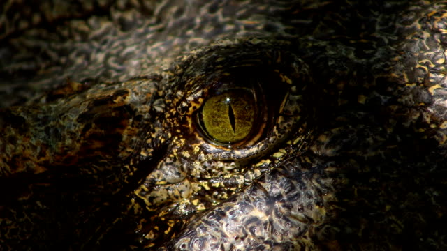 crocodile eye close-up - alligator stock videos & royalty-free footage