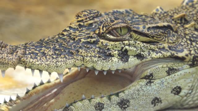crocodile eyes blink - american alligator stock videos & royalty-free footage