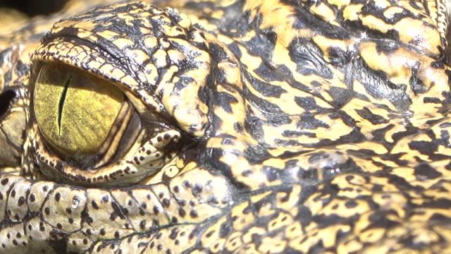 緑の池に浮かぶ4k ワニの目 - カイマン点の映像素材/bロール