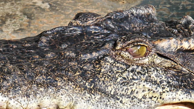 crocodile eyes will blink or close the eyes - reptile stock videos and b-roll footage