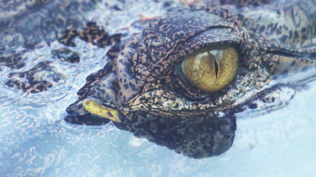 vídeos de stock e filmes b-roll de crocodile eyes will blink or close the eyes when diving. - olho de animal