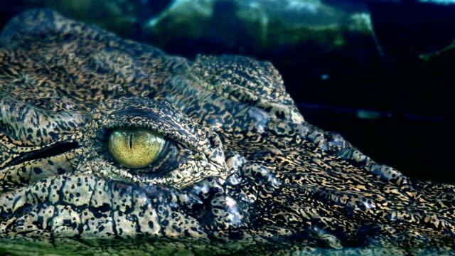 crocodile eyes will blink or close the eyes when diving. - reptile stock videos & royalty-free footage