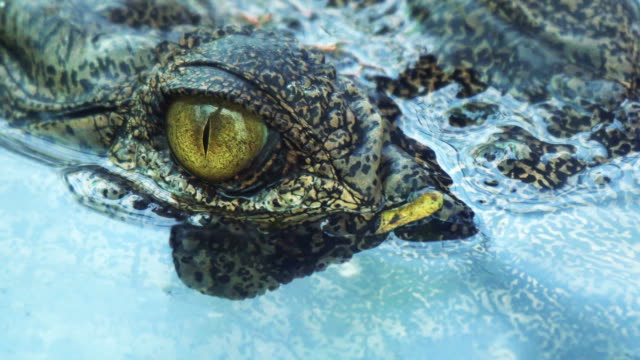 Crocodile eyes will blink or close the eyes when diving.