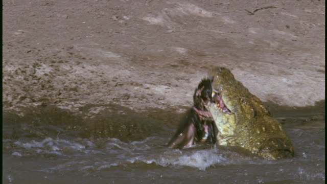 MS, crocodile feeding on Wildebeest carcass in muddy river, Serengeti National Park, Tanzania