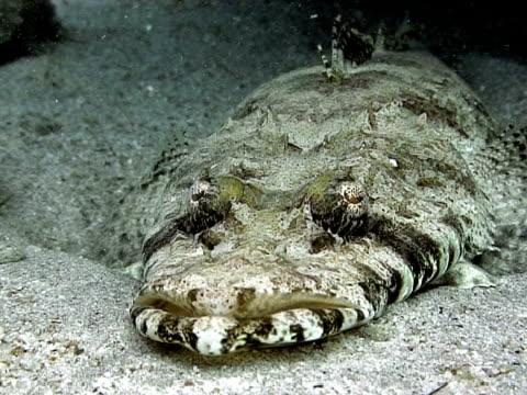 stockvideo's en b-roll-footage met crocodile fish (currently unidentified). dahab. red sea - vachtpatroon