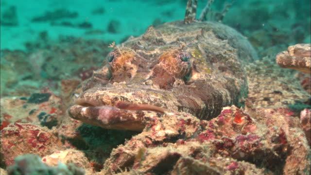 crocodile fish, lip shot, pull reveals two fish. borneo, malaysia, southeast asia - animal markings stock videos & royalty-free footage