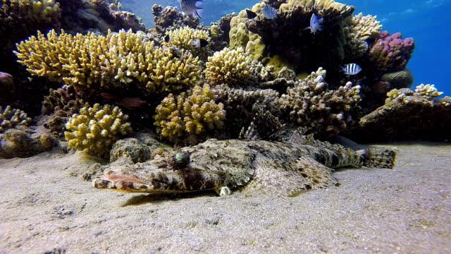 Krokodilfisch, Papilloculiceps longiceps am Roten Meer in der Nähe von Marsa Alam