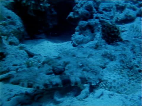 a crocodile fish swims along the ocean floor. - invertebrate stock videos & royalty-free footage
