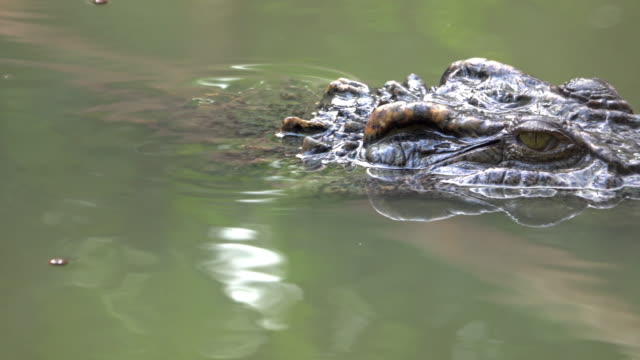 4k : crocodile floating in green pond. - crocodile stock videos & royalty-free footage