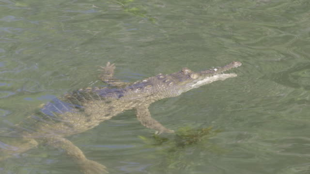 crocodile floating still at water's surface - crocodile stock videos & royalty-free footage