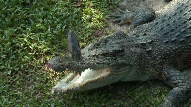 stockvideo's en b-roll-footage met crocodile getting hit with dangling fish head - neus van een dier