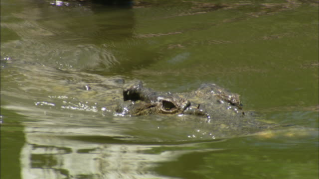 A crocodile glides snout-deep in a river until it attacks.