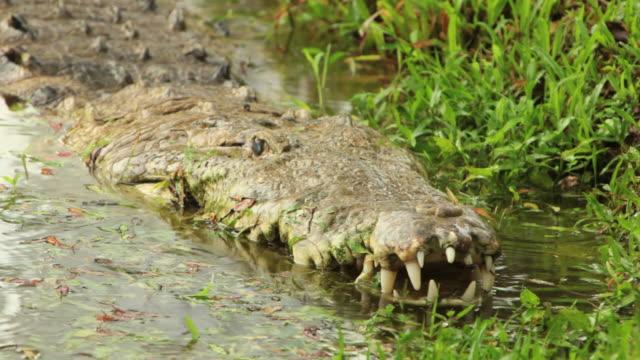 Crocodile HD]