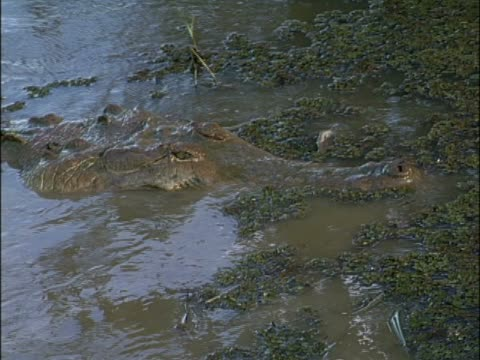 crocodile hunting an animal - aquatisches lebewesen stock-videos und b-roll-filmmaterial