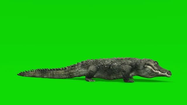 vídeos de stock, filmes e b-roll de animação ociosa de crocodilo na tela verde. o conceito de animal, vida selvagem, jogos, de volta à escola, animação 3d, vídeo curto, filme, desenho animado, orgânico, chave croma, animação de personagem, elemento de design, loopable - reptile