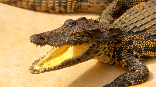 crocodile in a farm - mouth open stock videos & royalty-free footage