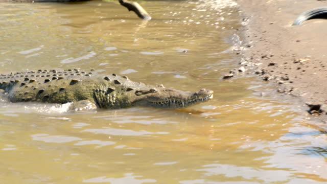 crocodile in tarcoles river, costa rica - crocodile stock videos and b-roll footage