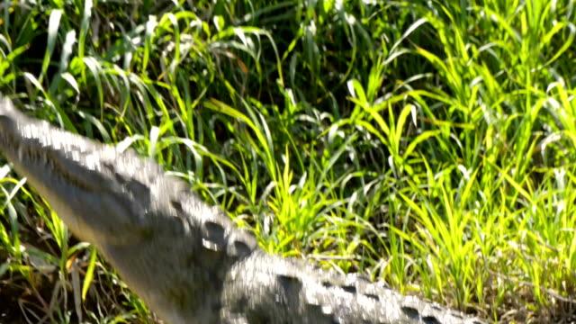 Crocodile in Tarcoles river, Costa Rica